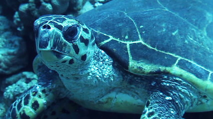 Hawksbill sea turtle on the reef, Red Sea, Egypt.
