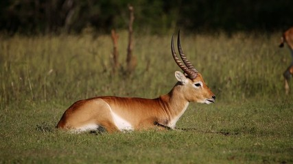 Red lechwe antelope relaxing on grass