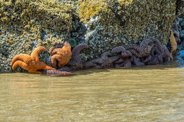 Starfish clinging to rocks on the beach
