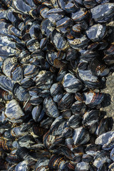 Group of mussels clinging to rocks