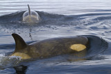 two female orca or killer whales swimming in Antarctic