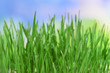 Beautiful spring grass on bright background