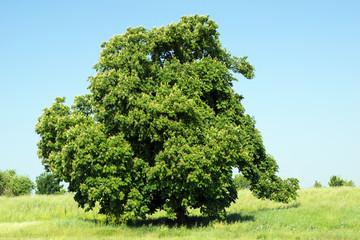 Baum auf einer Wiese und blauer Himmel