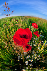 red poppy flower via fish eye