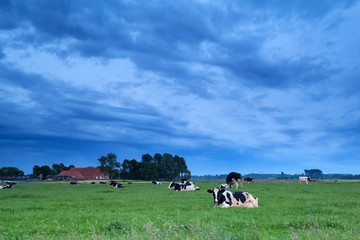 relaxed cows on pasture in dusk