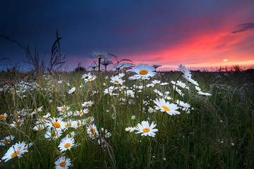 dramatic sunset over chamomile field