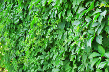 Green ivy leaves wall