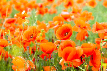 Flower red poppies