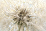 Fototapeta big white fluffy dandelion closeup