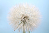 large dandelion flower on a blue background