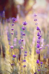Lavender flowers close-up