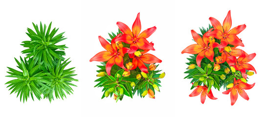set of 3 isolated red lily flowers