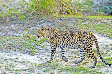 Sri Lankan Leopard - Panthera Pardus Kotiya