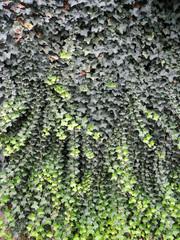 texture edera verticale