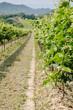 View through Vineyard