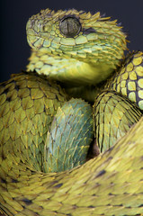 Hairy bush viper / Atheris hispida