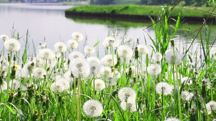 Dandelions on the riverbank of Moscow park