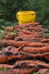 Урожай морковь