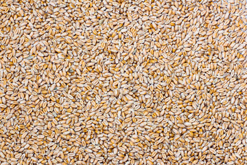 seeds of wheat background