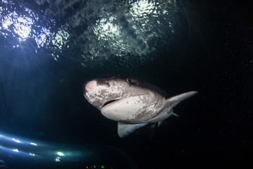 Sevengill Shark 1