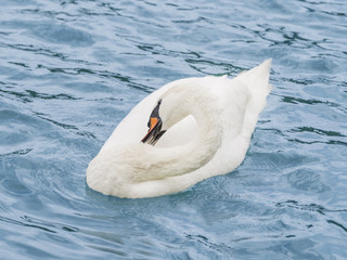 Female white swan grooming while floating on the Seine River