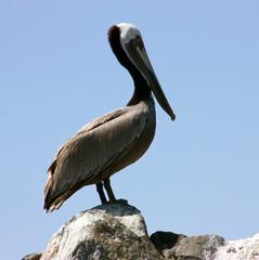 Maverick pelican