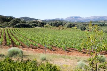 VInyard in Andalusia