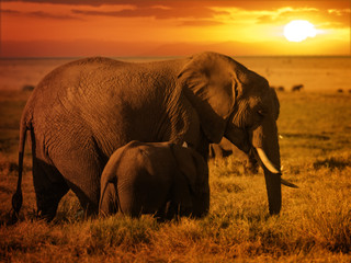 Forest elephant with her calf at sunset
