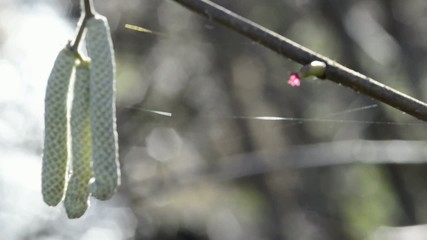 Haselnussblüte