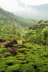 Munnar tea plantations india