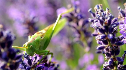 Green Grasshopper on lavender (macro)