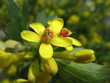 Flowers of golden currant (Ribes aureum)