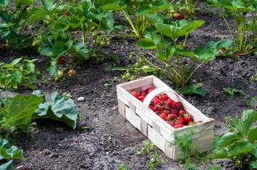 Frisch gepflückte Erdbeeren im Korb im Erdbeerbeet