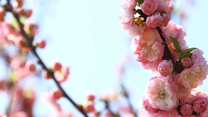 Blossom pink sakura tree and Singing Nightingale