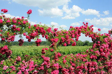 roses et vignoble bordelais