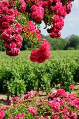 roses et vignoble bordelais 2