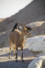 Birds eating parasites from Ibex. Ein Gedi, Dead Sea, Israel