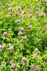Carpet of Red Clover