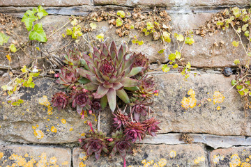 Houseleek Plant