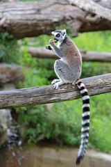 Ring-tailed lemur (Lemur catta) eating a fruit