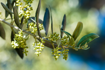 Twig of olive tree with leaves and unripe fruits.
