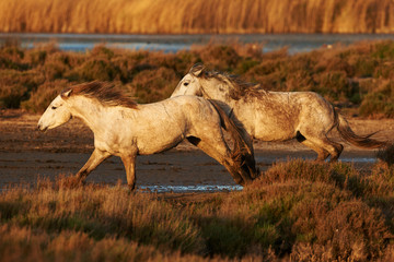 Two white horse of Camargue horizontally in the countryside