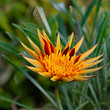 Apache Gazania Large Decorative flower square composition