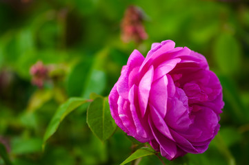 Single vivid pink rose and green background outdoor garden
