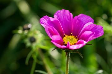 Plant, Asteraceae, cosmos bipinnatus, Pink Flower, close up