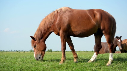 Brown horse grazing in a meadow. In the background is a herd of