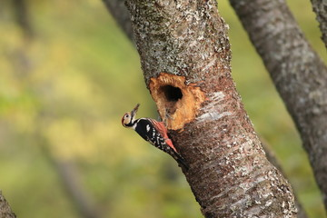 White-backed Woodpecker (Dendrocopos leucotos) nesting in Japan