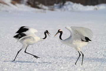 Japanese crane or Red-crowned Crane (Grus japonensis)