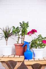 pink pelargonium, crassula, dracaena in pots and blue sprayer st