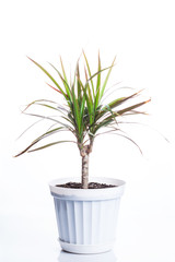 dracaena in white pot isolated on white background